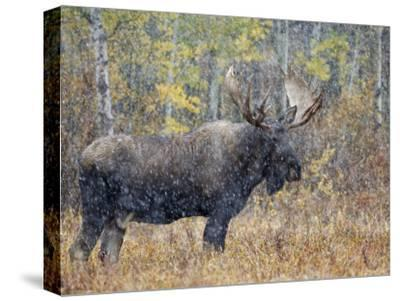 Moose Bull in Snow Storm with Aspen Trees in Background, Grand Teton National Park, Wyoming, USA-Rolf Nussbaumer-Stretched Canvas Print