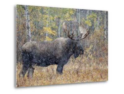 Moose Bull in Snow Storm with Aspen Trees in Background, Grand Teton National Park, Wyoming, USA-Rolf Nussbaumer-Metal Print