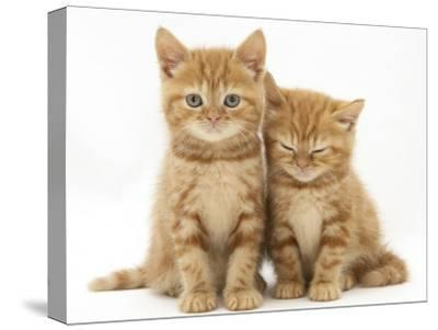 Two Ginger Domestic Kittens (Felis Catus)-Jane Burton-Stretched Canvas Print