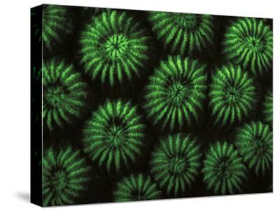Hard Corals, Fluorescent Under Uv Light, Papua New Guinea-Jurgen Freund-Stretched Canvas Print