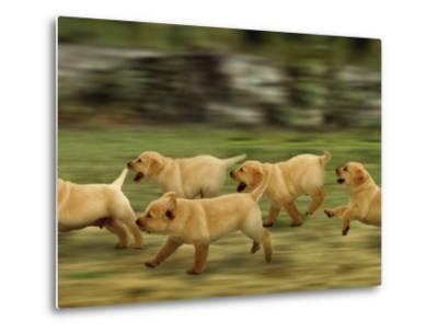 Domestic Dogs, Labrador Puppies Running-Jane Burton-Metal Print
