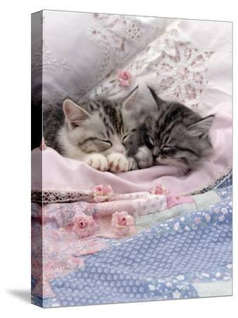 Domestic Cat, Two Chinchilla-Cross Kittens Sleeping in Bed-Jane Burton-Stretched Canvas Print