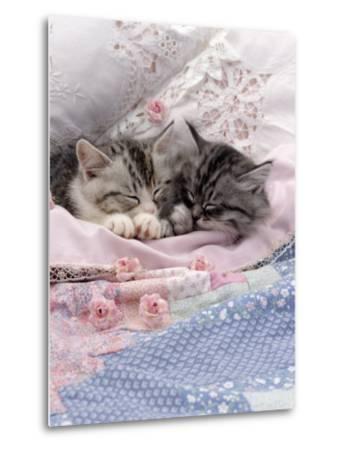 Domestic Cat, Two Chinchilla-Cross Kittens Sleeping in Bed-Jane Burton-Metal Print