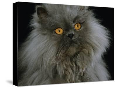Domestic Cat, Blue Persian Longhair-Jane Burton-Stretched Canvas Print