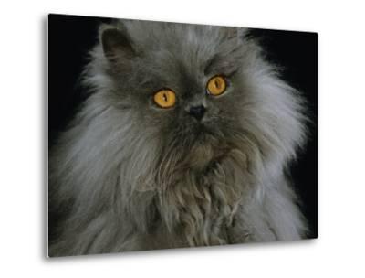 Domestic Cat, Blue Persian Longhair-Jane Burton-Metal Print