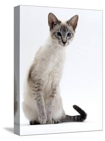 Domestic Cat, Young Tabby Point Siamese-Jane Burton-Stretched Canvas Print