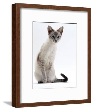 Domestic Cat, Young Tabby Point Siamese-Jane Burton-Framed Premium Photographic Print