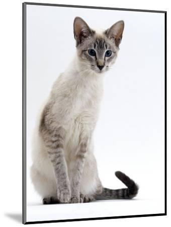 Domestic Cat, Young Tabby Point Siamese-Jane Burton-Mounted Premium Photographic Print