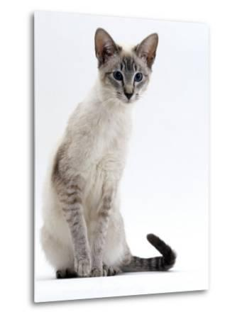 Domestic Cat, Young Tabby Point Siamese-Jane Burton-Metal Print