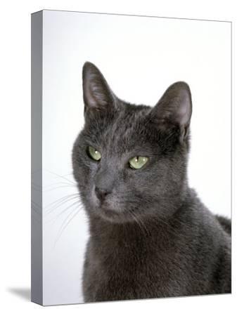 Domestic Cat, Russian Blue Female-Jane Burton-Stretched Canvas Print