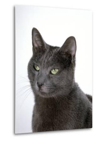 Domestic Cat, Russian Blue Female-Jane Burton-Metal Print