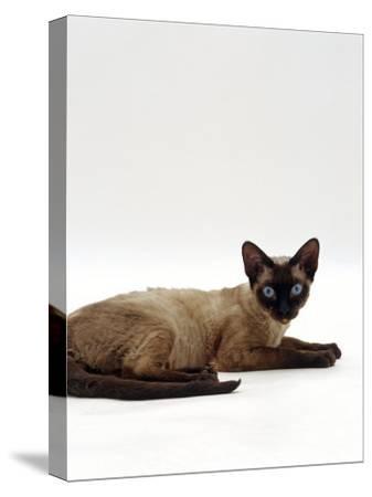 Domestic Cat, Seal-Point Devon Si-Rex-Jane Burton-Stretched Canvas Print