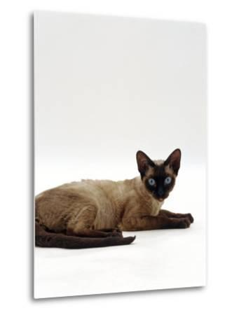 Domestic Cat, Seal-Point Devon Si-Rex-Jane Burton-Metal Print