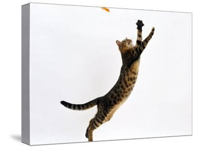 Domestic Cat, Brown Spotted Bengal Female Leaping for Toy-Jane Burton-Stretched Canvas Print