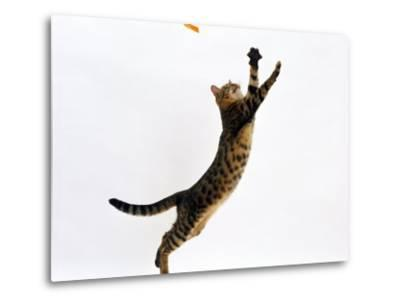 Domestic Cat, Brown Spotted Bengal Female Leaping for Toy-Jane Burton-Metal Print