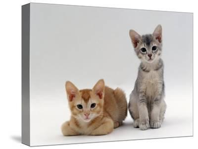 Domestic Cat, 9-Weeks Red and Blue-Cream Kittens, Lying and Sitting-Jane Burton-Stretched Canvas Print