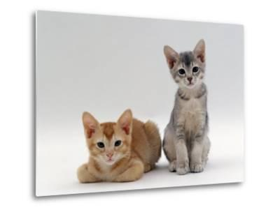 Domestic Cat, 9-Weeks Red and Blue-Cream Kittens, Lying and Sitting-Jane Burton-Metal Print