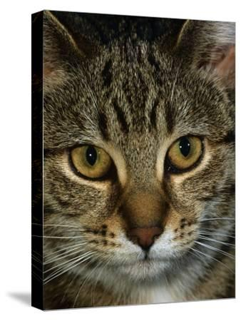 Domestic Cat, Head Portrait of Tabby-Jane Burton-Stretched Canvas Print