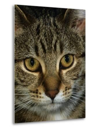 Domestic Cat, Head Portrait of Tabby-Jane Burton-Metal Print