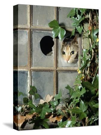 Tabby Tortoiseshell in an Ivy-Grown Window of a Deserted Victorian House-Jane Burton-Stretched Canvas Print