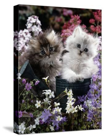 7-Weeks, Gold-Shaded and Silver-Shaded Persian Kittens in Watering Can Surrounded by Flowers-Jane Burton-Stretched Canvas Print