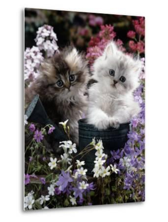 7-Weeks, Gold-Shaded and Silver-Shaded Persian Kittens in Watering Can Surrounded by Flowers-Jane Burton-Metal Print