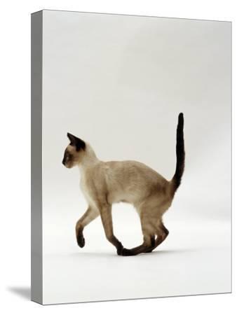 Domestic Cat, Seal Point Siamese Juvenile Running Profile-Jane Burton-Stretched Canvas Print