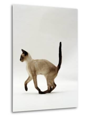 Domestic Cat, Seal Point Siamese Juvenile Running Profile-Jane Burton-Metal Print