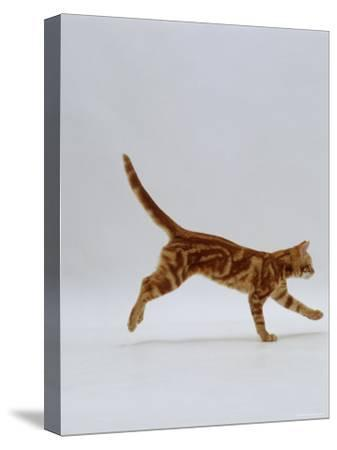 Domestic Cat, Red Tabby Kitten Running Profile-Jane Burton-Stretched Canvas Print