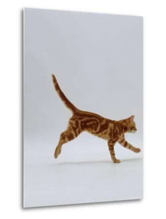 Domestic Cat, Red Tabby Kitten Running Profile-Jane Burton-Metal Print