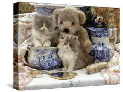 9-Week, Blue Bicolour Persian Kitten, Brindle Teddy Bear and Victorian Staffordshire Wash-Stand Set-Jane Burton-Stretched Canvas Print
