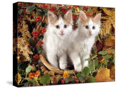 Domestic Cat, 9-Week, White-And-Tortoiseshell Sisters and in a Basket with Hazelnuts-Jane Burton-Stretched Canvas Print
