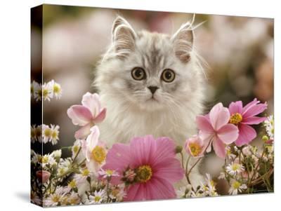 Domestic Cat, Silvertabby Kitten Among Michaelmas Dasies, Japanese Anemones and Cosmos Dasies-Jane Burton-Stretched Canvas Print