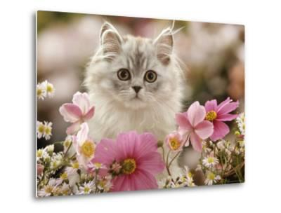 Domestic Cat, Silvertabby Kitten Among Michaelmas Dasies, Japanese Anemones and Cosmos Dasies-Jane Burton-Metal Print