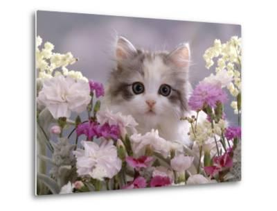 8-Week, Silver Tortoiseshell-And-White Kitten, Among Gillyflowers, Carnations and Meadowseed-Jane Burton-Metal Print