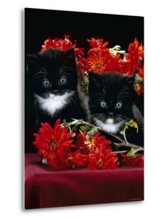 Domestic Cat, Persian-Cross Kittens with Chrysanthemums-Jane Burton-Metal Print