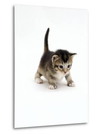Domestic Cat, 3-Week Ticked-Tabby Kitten-Jane Burton-Metal Print