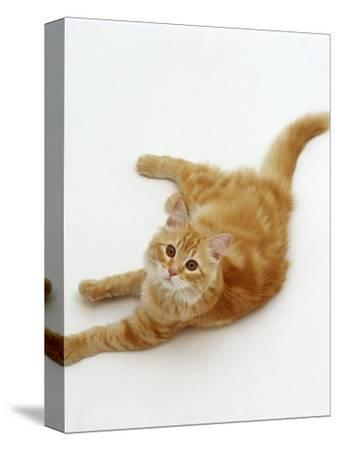 Domestic Cat, Fluffy Red Tabby Female-Jane Burton-Stretched Canvas Print