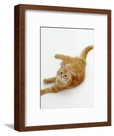 Domestic Cat, Fluffy Red Tabby Female-Jane Burton-Framed Premium Photographic Print