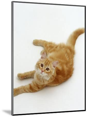 Domestic Cat, Fluffy Red Tabby Female-Jane Burton-Mounted Premium Photographic Print