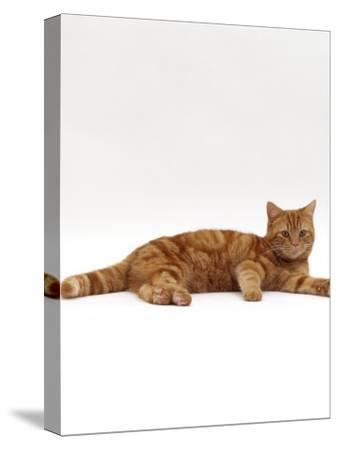 Domestic Cat, Red Tabby Male Lying Down-Jane Burton-Stretched Canvas Print