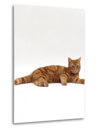 Domestic Cat, Red Tabby Male Lying Down-Jane Burton-Metal Print