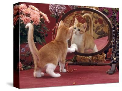 Domestic Cat, Ginger and White Kitten Looking at Reflection in Mirror-Jane Burton-Stretched Canvas Print