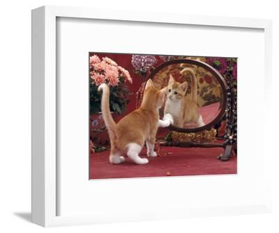 Domestic Cat, Ginger and White Kitten Looking at Reflection in Mirror-Jane Burton-Framed Premium Photographic Print