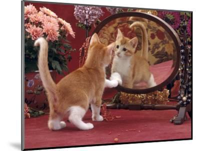 Domestic Cat, Ginger and White Kitten Looking at Reflection in Mirror-Jane Burton-Mounted Premium Photographic Print