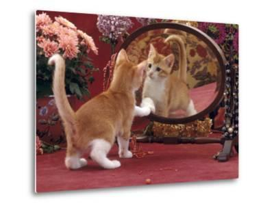 Domestic Cat, Ginger and White Kitten Looking at Reflection in Mirror-Jane Burton-Metal Print