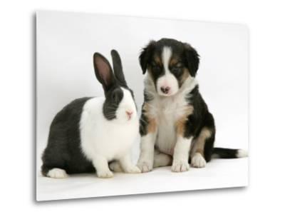 Tricolour Border Collie Puppy with Blue Dutch Rabbit-Jane Burton-Metal Print