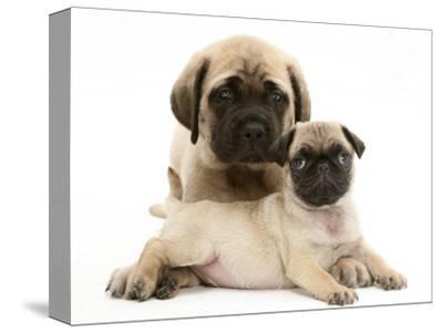 Fawn Pug Puppy with Fawn English Mastiff Puppy-Jane Burton-Stretched Canvas Print