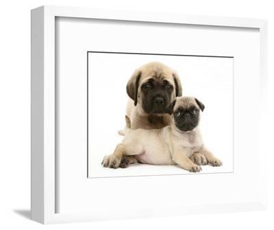 Fawn Pug Puppy with Fawn English Mastiff Puppy-Jane Burton-Framed Premium Photographic Print