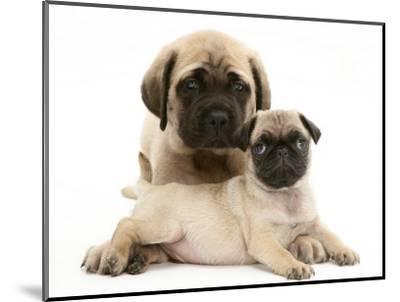 Fawn Pug Puppy with Fawn English Mastiff Puppy-Jane Burton-Mounted Premium Photographic Print